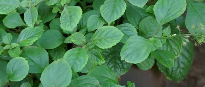 Forskolin - Návrat zakázané, extrémně účinné byliny