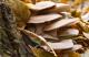 Hlíva ústřičná a červená rýže – nebezpečné doplňky stravy