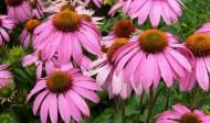 Echinacea a její účinky prokázané studiemi