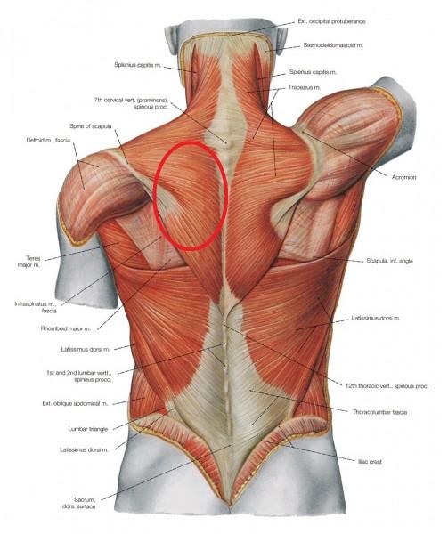 Muscles_dos1_120_(FF)_en.jpg